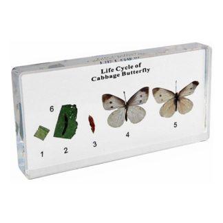 Ciclo de vida de la mariposa