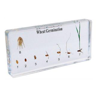 Germinación del trigo