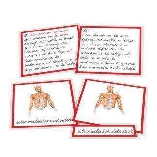 Músculos - nomenclatura