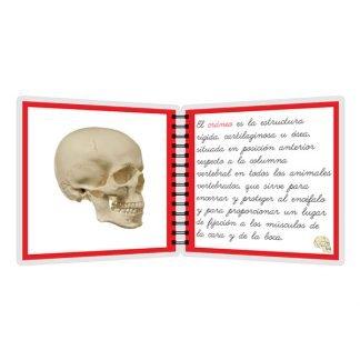 Partes del cráneo - libro