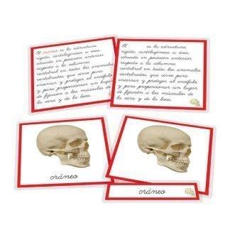 Partes del cráneo - nomenclatura