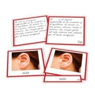 Partes del oído - nomenclatura