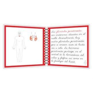 Sistema endócrino - libro
