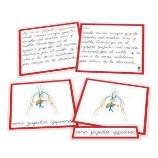 Sistema linfático - nomenclatura