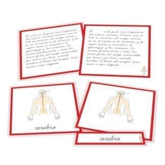 Sistema nervioso - nomenclatura